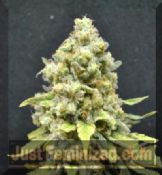 CBD Crew Critical Mass seeds of cannabis feminised for sale